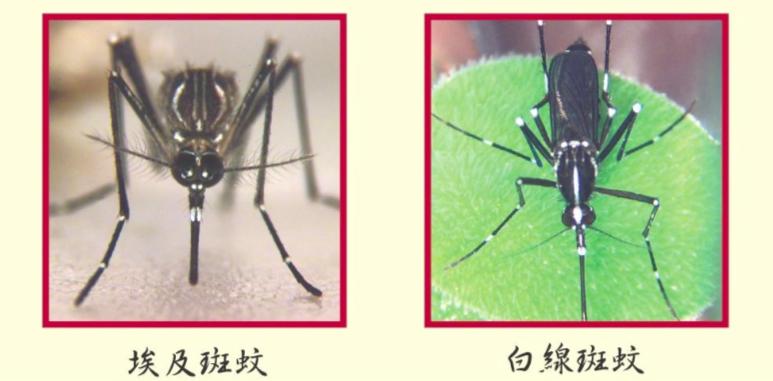 登革熱-病媒蚊-白線斑蚊-埃及斑蚊